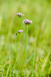 Alium Flower in the meadow Royalty Free Stock Photos