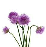 Alium flowers isolated on white Royalty Free Stock Image