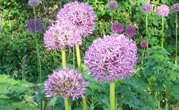 Alium Giganteum, Giant Onion plants Royalty Free Stock Image
