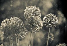Free Alium Gigantium Flower Head With Dandelion Flower Structure. Macro. Soft Focus. Black And White Photo Royalty Free Stock Images - 140639729