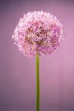 alium kwiatu cebuli purpury Zdjęcia Stock
