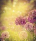 alium kwiatu cebuli purpury Obraz Royalty Free