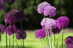 Alium onion flower royalty free stock images