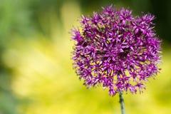 Alium onion flower royalty free stock photo