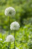 Alium onion flower Stock Photos