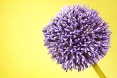alium tła kwiatu purpur kolor żółty Obraz Stock