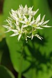 Alium ursinum Royalty Free Stock Photo