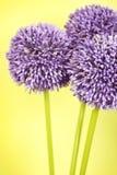 aliumen blommar purple tre Arkivbild