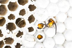 Free Alive Baby Asian Hornet In Nest Honeycombed Macro In White Background Stock Photo - 129366060