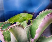 Alive green cricket standing on beautiful succulent leaves stock photography