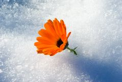 Alive bright Flower under first snow, Royalty Free Stock Photos