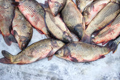 Alive carp for sale Royalty Free Stock Photography