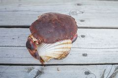 Alive crab holding scallop in claw Stock Photography