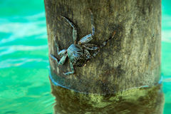 Alive crab on tree over ocean Stock Image
