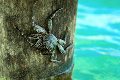 Alive crab on tree over ocean Stock Photography