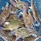 Alive crabs in the blue basket. Alive fresh crabs in the blue basket Royalty Free Stock Images