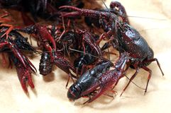Alive crawfish Stock Photos