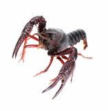 Alive crawfish Royalty Free Stock Image