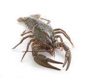 Alive crawfish Stock Photos