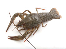 Alive crawfish Stock Photo