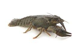Alive crawfish Stock Photography