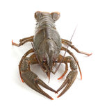 Alive crawfish Royalty Free Stock Photos