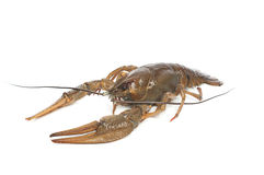 Alive crawfish on white background Royalty Free Stock Photography