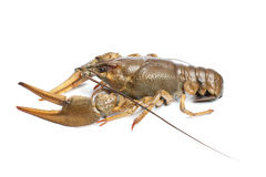 Alive crawfish on white background Stock Photography