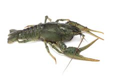 Alive crayfish Royalty Free Stock Images