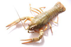 Alive crayfish Royalty Free Stock Photo