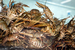 Alive crayfish in aquarium Royalty Free Stock Photo