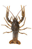 Alive crayfish Stock Image