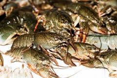 Alive crayfish closeup. Alive crayfish isolated on white background, live crayfish closeup, fresh crayfish. Beer snacks, river crayfish Stock Photos