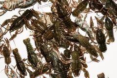 Alive crayfish closeup. Alive crayfish isolated on white background, live crayfish closeup, fresh crayfish. Beer snacks, river crayfish Royalty Free Stock Photo
