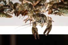 Alive crayfish closeup. Alive crayfish isolated on white background, live crayfish closeup, fresh crayfish. Beer snacks, river crayfish Royalty Free Stock Images