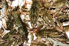 Alive crayfish closeup. Alive crayfish isolated on white background, live crayfish closeup, fresh crayfish. Beer snacks, river crayfish Royalty Free Stock Photography