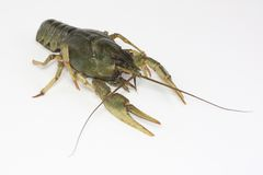 Alive crayfish creepse Stock Photography
