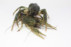Alive crayfish creepse Royalty Free Stock Photo