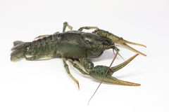 Alive crayfish creepse Stock Images