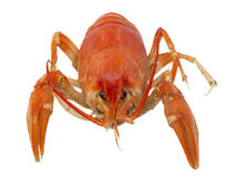 Alive crayfish isolated Royalty Free Stock Photography