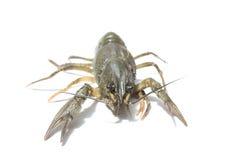 Alive crayfish isolated on white background Royalty Free Stock Photos