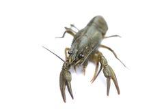 Alive crayfish isolated on white background Stock Photo