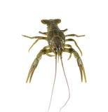Alive crayfish isolated on white background Stock Photography