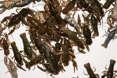 Alive crayfish isolated on white background. Live crayfish closeup, fresh crayfish. Beer snacks, river crayfish Stock Photos