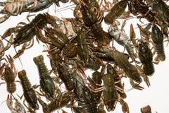 Alive crayfish isolated on white background. Live crayfish closeup, fresh crayfish. Beer snacks, river crayfish Royalty Free Stock Images