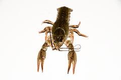 Alive crayfish isolated on white background. Live crayfish closeup, fresh crayfish. Beer snacks, river crayfish Stock Photography