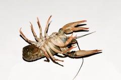 Alive crayfish isolated on white background. Live crayfish closeup, fresh crayfish. Beer snacks, river crayfish Royalty Free Stock Image