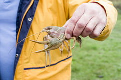 Alive crayfish in male hand closeup Stock Photo