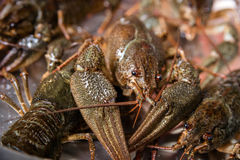 Alive crayfish in market Stock Image