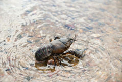 Alive crayfish. Stock Photo